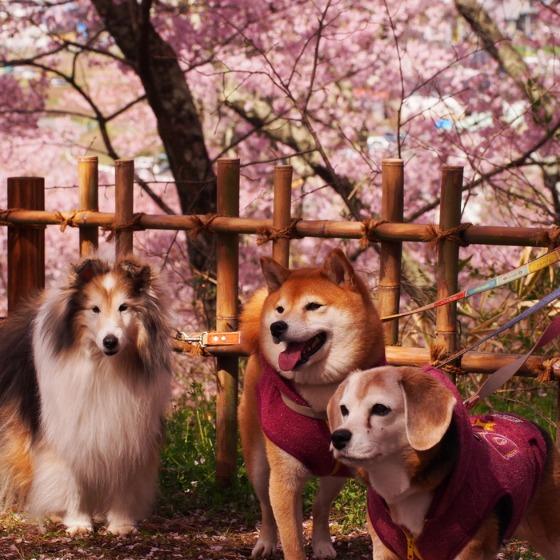 高遠の桜_a0104074_10384519.jpg