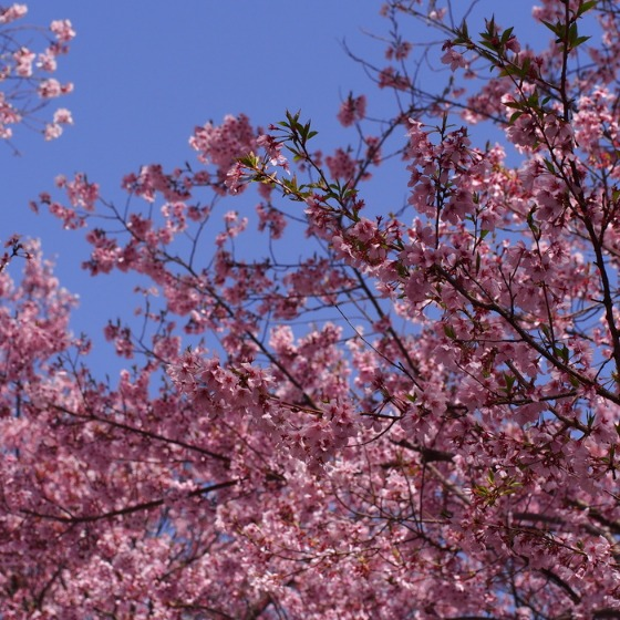 高遠の桜_a0104074_1041489.jpg