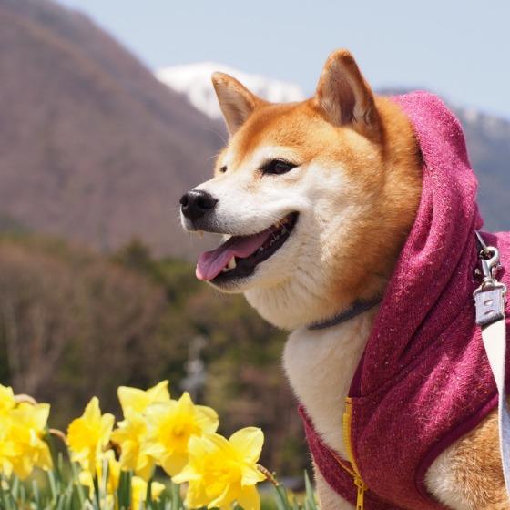 光善寺の水仙としだれ桜_a0104074_11574345.jpg