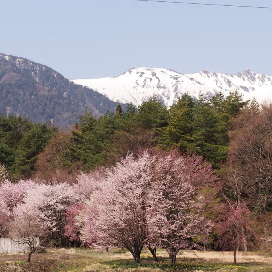 光善寺の水仙としだれ桜_a0104074_1158516.jpg