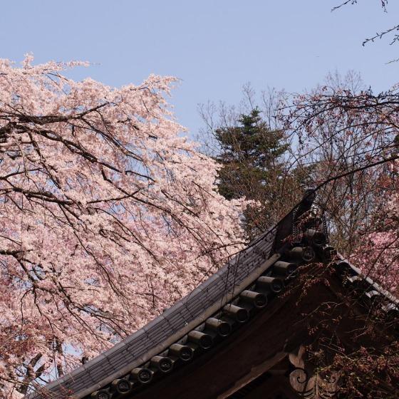 光善寺の水仙としだれ桜_a0104074_1210521.jpg