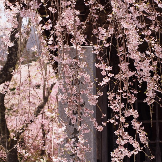 光善寺の水仙としだれ桜_a0104074_121297.jpg