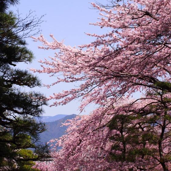 光善寺の水仙としだれ桜_a0104074_12133564.jpg