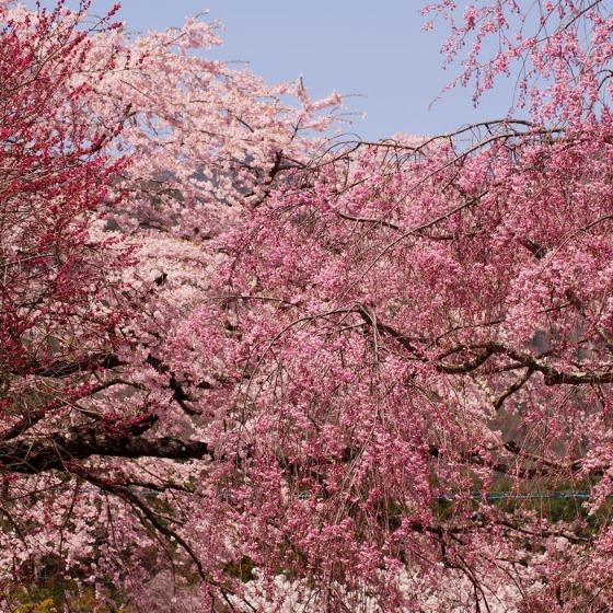 光善寺の水仙としだれ桜_a0104074_12154991.jpg