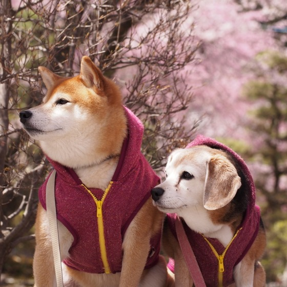 光善寺の水仙としだれ桜_a0104074_1215814.jpg