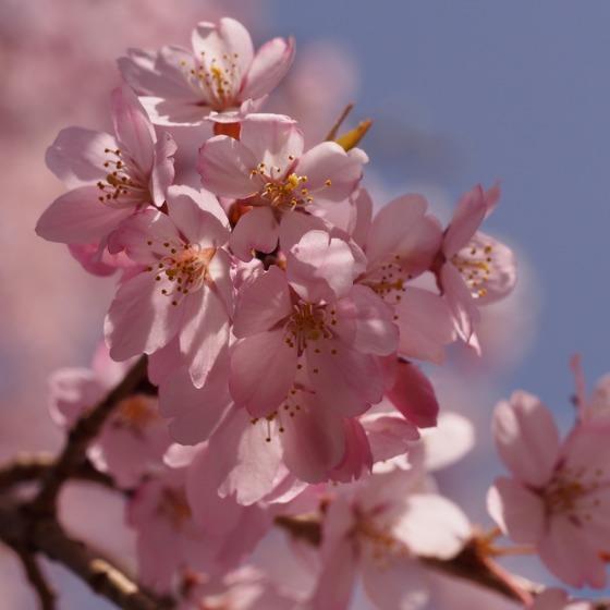 光善寺の水仙としだれ桜_a0104074_12162038.jpg