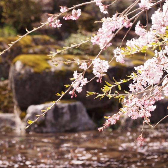 光善寺の水仙としだれ桜_a0104074_1218187.jpg
