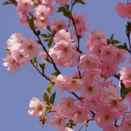 光善寺の水仙としだれ桜_a0104074_12205272.jpg