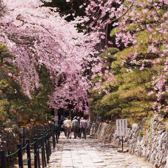 光善寺の水仙としだれ桜_a0104074_1221670.jpg