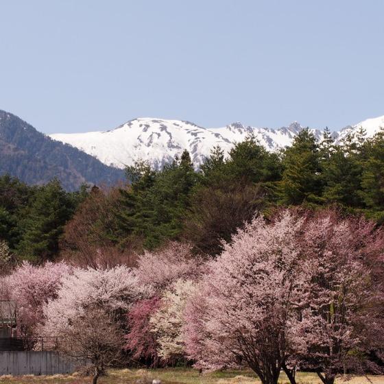 光善寺の水仙としだれ桜_a0104074_12223566.jpg