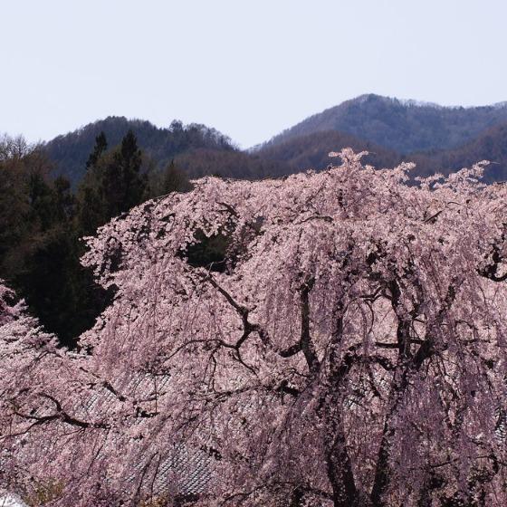 光善寺の水仙としだれ桜_a0104074_1222619.jpg
