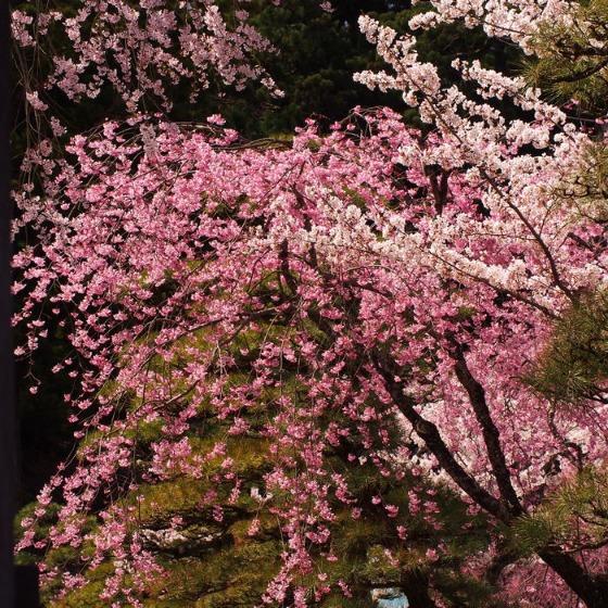 光善寺の水仙としだれ桜_a0104074_1224788.jpg