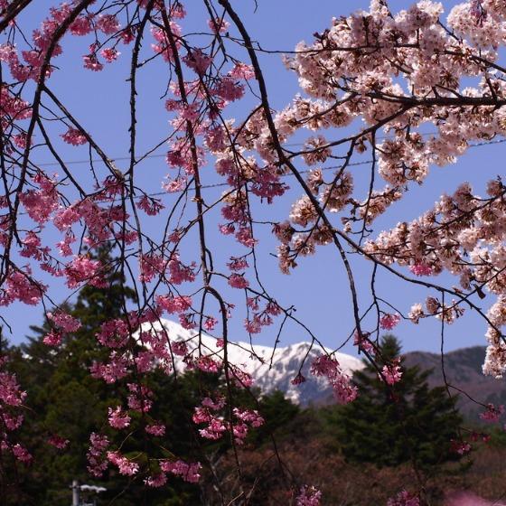 光善寺の水仙としだれ桜_a0104074_1244322.jpg
