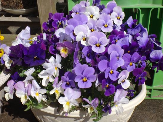 冬を越したビオラ、花壇のチオノドクサ、プシュキニア、ヒメリュウキンカなど_a0136293_17495675.jpg