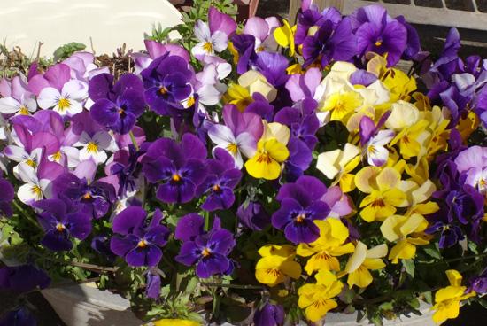 冬を越したビオラ、花壇のチオノドクサ、プシュキニア、ヒメリュウキンカなど_a0136293_17501893.jpg