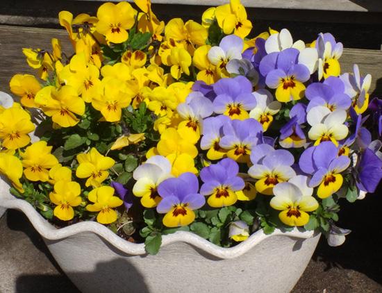 冬を越したビオラ、花壇のチオノドクサ、プシュキニア、ヒメリュウキンカなど_a0136293_1750744.jpg