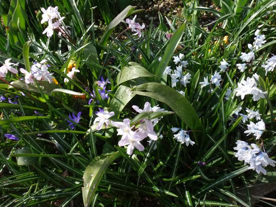 冬を越したビオラ、花壇のチオノドクサ、プシュキニア、ヒメリュウキンカなど_a0136293_17522818.jpg