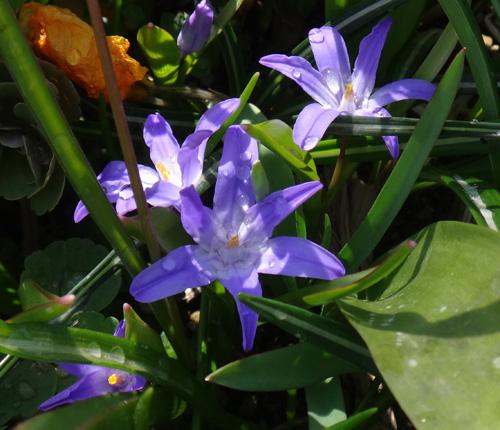 冬を越したビオラ、花壇のチオノドクサ、プシュキニア、ヒメリュウキンカなど_a0136293_17524784.jpg