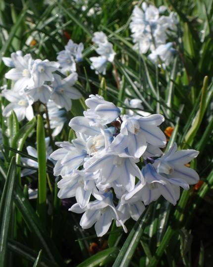 冬を越したビオラ、花壇のチオノドクサ、プシュキニア、ヒメリュウキンカなど_a0136293_17531069.jpg