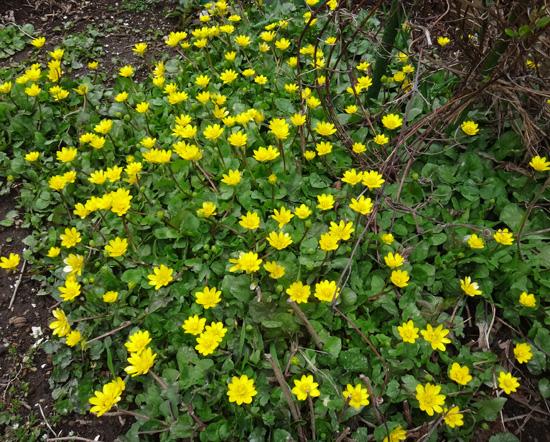 冬を越したビオラ、花壇のチオノドクサ、プシュキニア、ヒメリュウキンカなど_a0136293_17551751.jpg