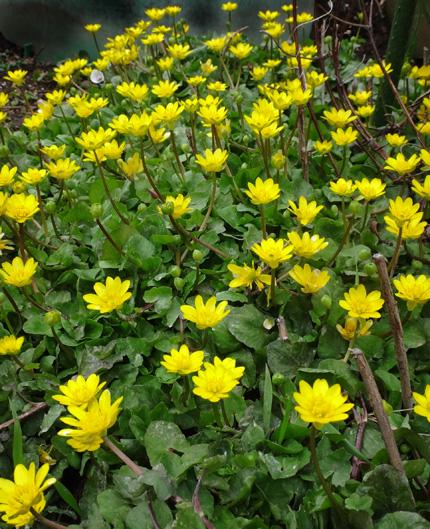 冬を越したビオラ、花壇のチオノドクサ、プシュキニア、ヒメリュウキンカなど_a0136293_17561010.jpg
