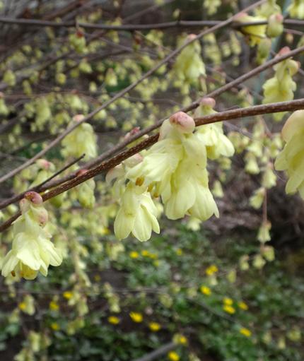 冬を越したビオラ、花壇のチオノドクサ、プシュキニア、ヒメリュウキンカなど_a0136293_17573028.jpg