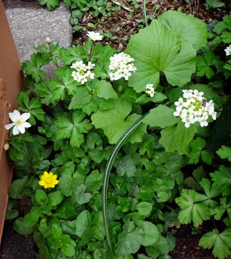 冬を越したビオラ、花壇のチオノドクサ、プシュキニア、ヒメリュウキンカなど_a0136293_17592949.jpg