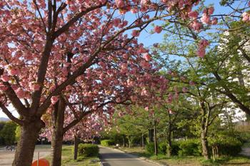 八重桜に想う_c0138704_23392444.jpg