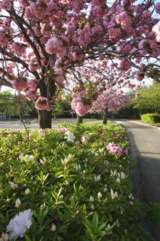 八重桜に想う_c0138704_23395288.jpg