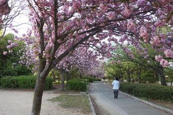 八重桜に想う_c0138704_2340764.jpg