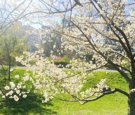 春のセントラルパーク、恒例の桜のトンネルはまだつぼみ_b0007805_1001986.jpg