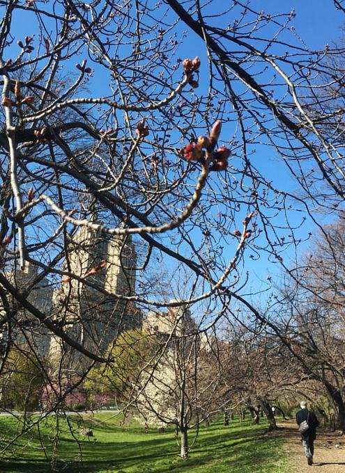 春のセントラルパーク、恒例の桜のトンネルはまだつぼみ_b0007805_954263.jpg