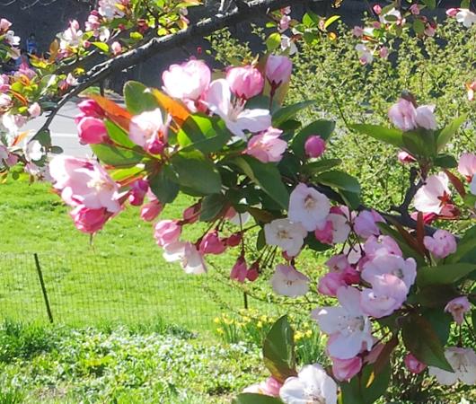 春のセントラルパーク、恒例の桜のトンネルはまだつぼみ_b0007805_9561830.jpg