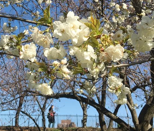 春のセントラルパーク、恒例の桜のトンネルはまだつぼみ_b0007805_956199.jpg