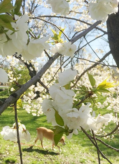 春のセントラルパーク、恒例の桜のトンネルはまだつぼみ_b0007805_9564597.jpg