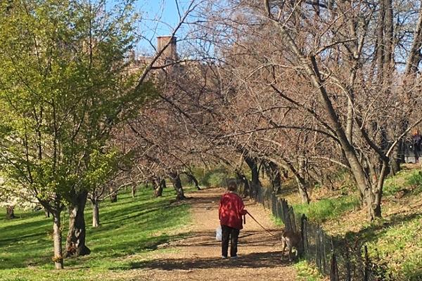 春のセントラルパーク、恒例の桜のトンネルはまだつぼみ_b0007805_9581267.jpg