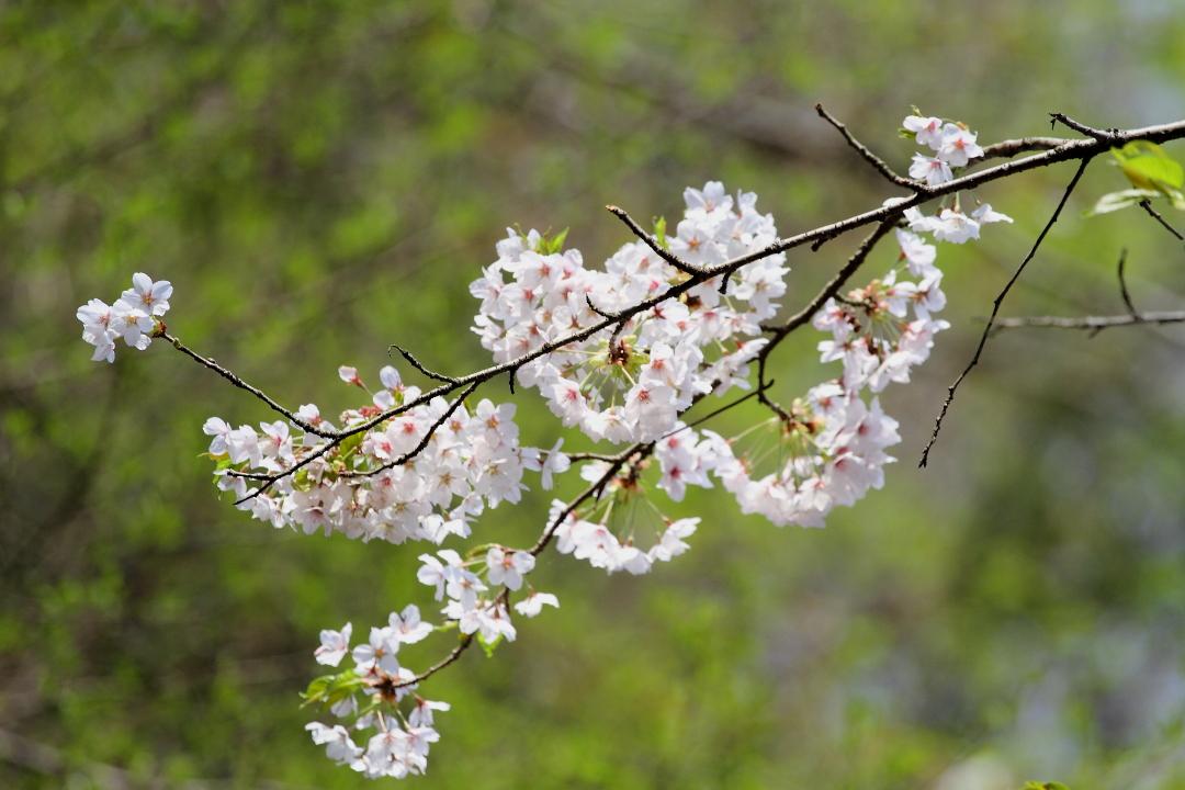 新緑をバックに山桜_b0190710_21325361.jpg