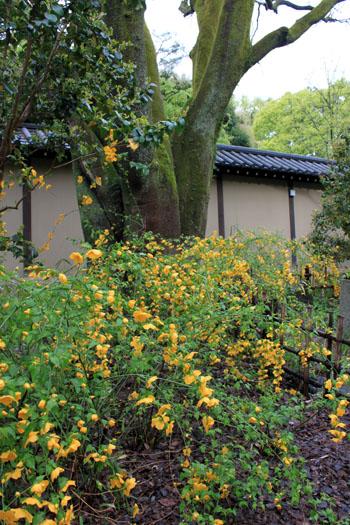 京都御苑でもヤマブキ満開_e0048413_20553295.jpg