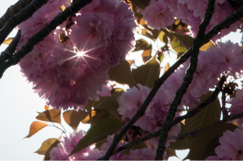 セシール 志度ロジスティクスセンターの桜_d0246136_23155767.jpg