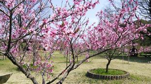 桃の花。_f0229147_13494105.jpg