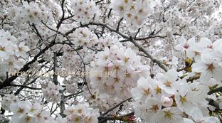 桜。_f0229147_13494106.jpg