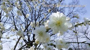 桃の花。_f0229147_13494134.jpg