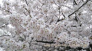 桜。_f0229147_13494173.jpg