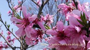 桃の花。_f0229147_13494187.jpg