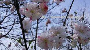 桃の花。_f0229147_13494194.jpg