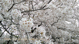 桜。_f0229147_13512170.jpg