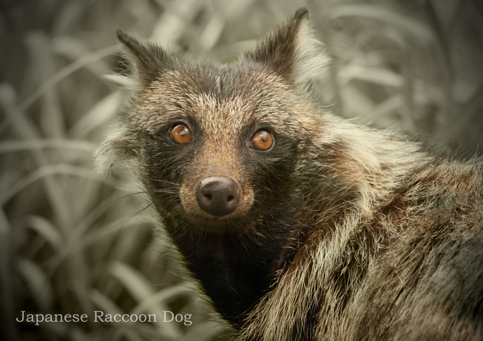 ホンドタキ:Japanese Raccoon Dog_b0249597_18583849.jpg