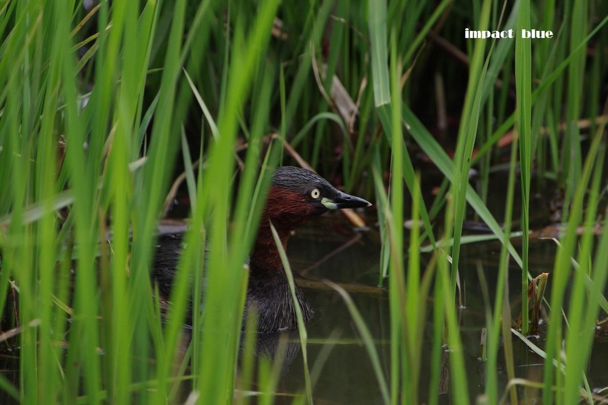 素敵な沼のカワセミ事情♪_a0355908_20440797.jpg
