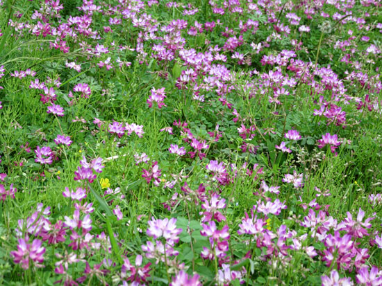 菜園の花と山菜_e0048413_21371716.jpg