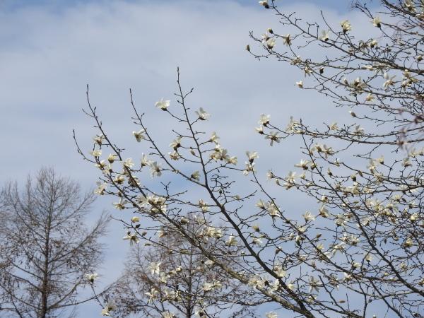 コブシが咲きました_b0174425_21263286.jpg